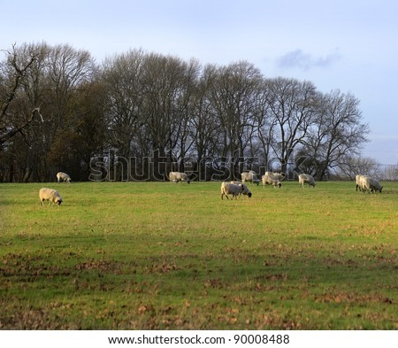 sheep animal farm farming agriculture wool livestock animal