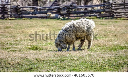 Sheep are feeding in the pasture in Colonial Williamsburg, Virginia, USA - stock photo