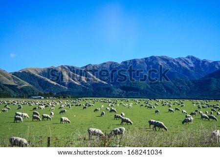 Sheep are grazing - stock photo