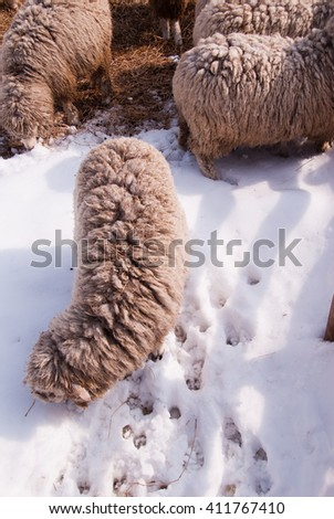sheep are looking for a prey, in the winter/sheep - stock photo