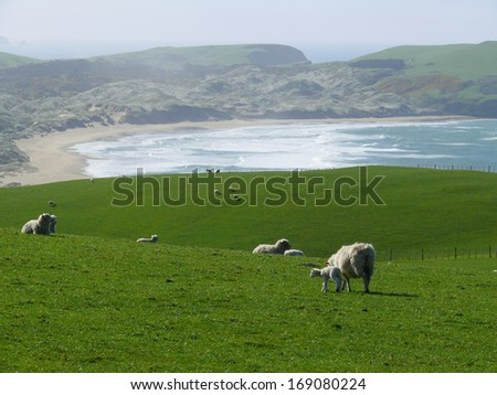 Sheep at a pasture in New Zealand with the sea at background - stock photo
