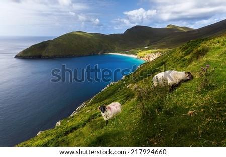 Sheep at achill island with beach at ireland - stock photo