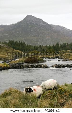 Sheep at an irish river - stock photo