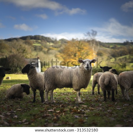 Sheep at morning feeding time congregate around the troughs. Herefordshire, UK - stock photo