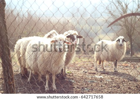 Sheep behind a fence in the morning sunlight
