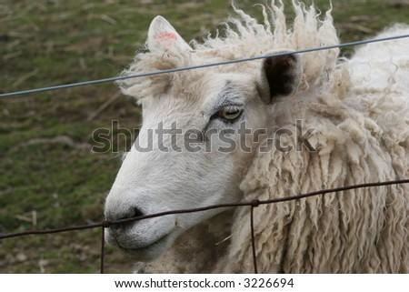 Sheep behind fence - stock photo