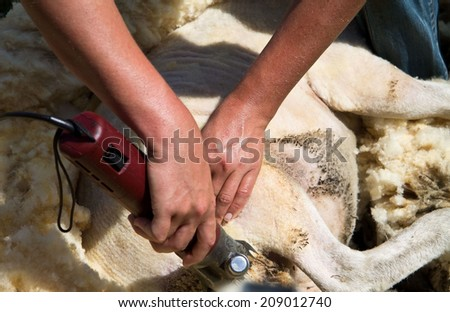 Sheep being shaved on the ground horizontal - stock photo