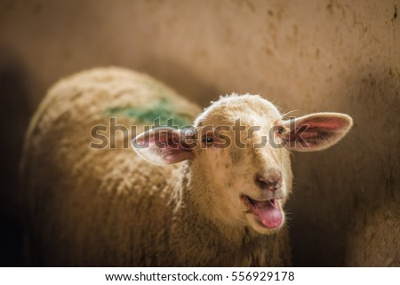 Sheep bleating in a barn