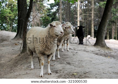Sheep close up on a background of the forest - stock photo