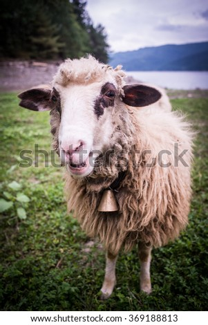 sheep closeup near the lake and mountains