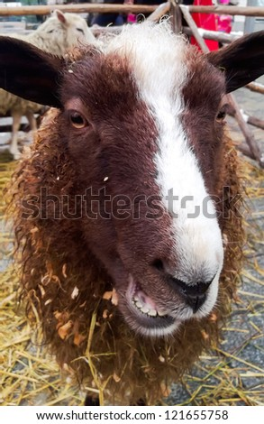 Sheep closeup with a funny face - stock photo