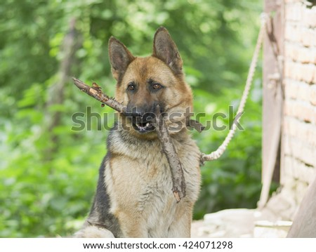 Sheep-dog - stock photo
