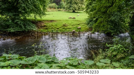 Sheep drinking from a stream and grazing in a meadow.