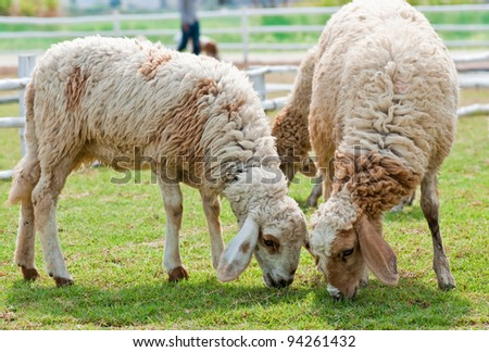 Sheep eating grass in the farm. - stock photo