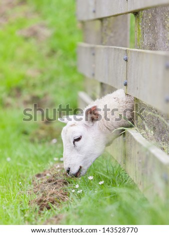 Sheep eating, grass is greener at the other side of the fence - stock photo