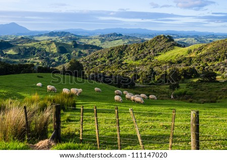 Sheep eating grass on the mountains of the north island of New Zealand - stock photo