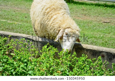 Sheep eating on a pasture