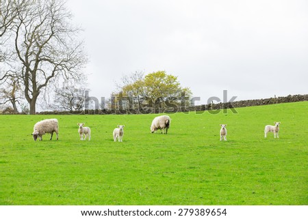 Sheep ewes with twin lambs on spring grass