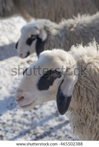 sheep faces with black spots on snowy meadow, selective focus