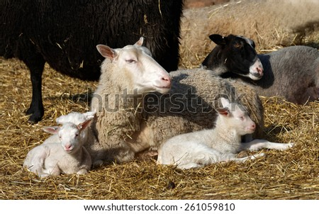 Sheep family resting in the hay a sunny day during spring and closing their eyes - stock photo