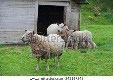 Sheep family with lambs greezng n fresh green grass - stock photo