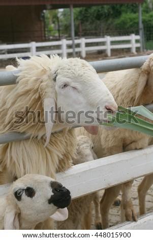 Sheep feeding in the farm - stock photo