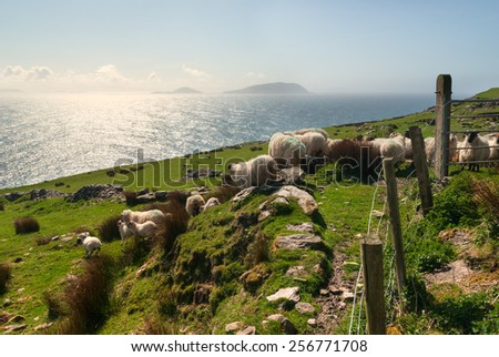 Sheep flock on green hills in Dingle, County Kerry, Ireland - stock photo