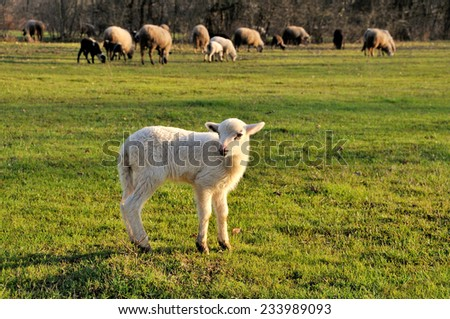 Sheep flock with lamb in foreground