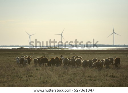 Sheep grass sea and windmills