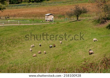 Sheep Graze in Pasture - chicken coop and gardens in background - stock photo