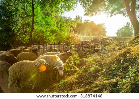 Sheep graze in the pasture - stock photo
