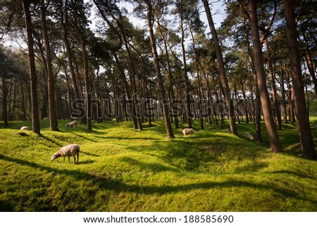 Sheep graze on the craters and regrown woods on the World War 1 battleground, Vimy Ridge, France. Unexploded ordnance (UXO) remains a constant danger