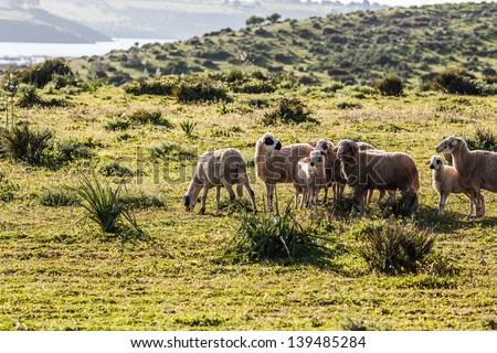 Sheep graze on the green hill - stock photo