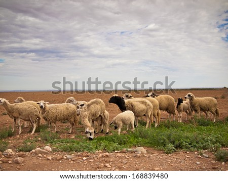 Sheep graze on the meadow against the sky - stock photo