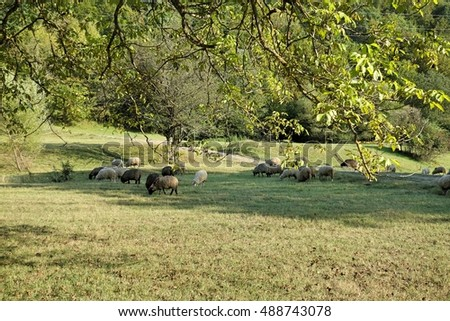 Sheep graze the grass. Transcarpathia