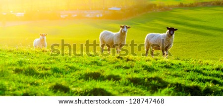 Sheep grazing at sunset in a field in Somerset, England - stock photo