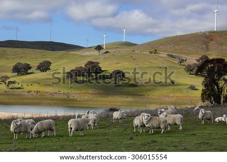 Sheep grazing below the Blayney to Carcoar windfarm, Central West NSW.  The distant fields have cattle grazing.  Focus to foreground - stock photo