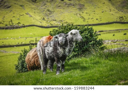 sheep grazing great langdale english countryside cumbria