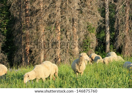 Sheep grazing in a forest, Utah, USA. - stock photo