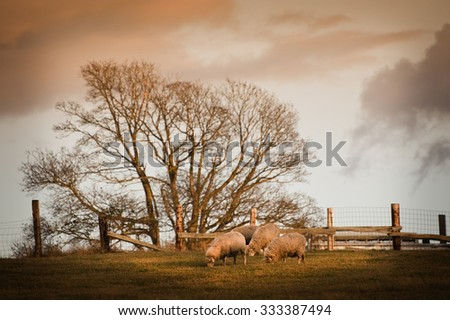 Sheep grazing in a Pasture. During a lovely sunset, sheep graze under a maple tree in a rural fenced pasture.  - stock photo