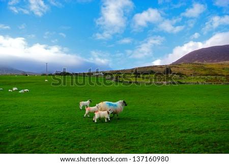 Sheep grazing in Kerry, Ireland - stock photo