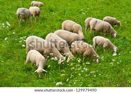 Sheep Grazing in the Alpine Meadows of Bavaria - stock photo