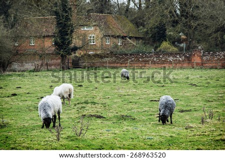 Sheep grazing in the english countryside. Farm theme.