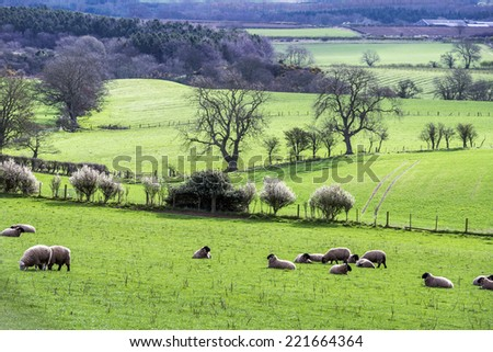 Sheep grazing in the farm near Rugley Cottages, Northumberland - stock photo