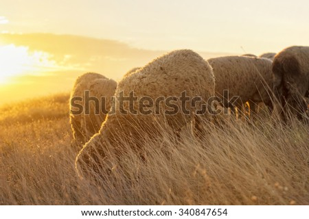 Sheep grazing in the field enjoying last minutes of pleasant sunshine - stock photo