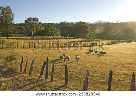 Sheep grazing in the fields of southern Chile (Araucan���a Andean) - stock photo