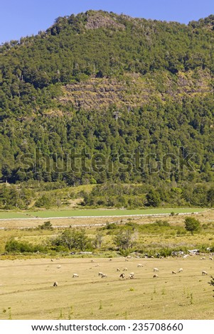 Sheep grazing in the fields of southern Chile (Araucania Andean) - stock photo