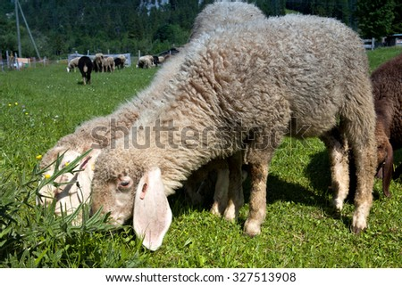 Sheep grazing in the meadows of Bavaria