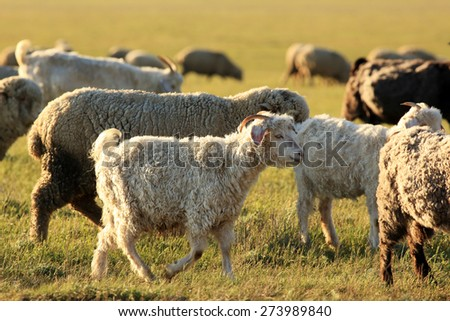 Sheep grazing in the steppes of Kalmykia, Republic of Kalmykia, Russian Federation - stock photo