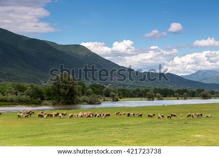 Sheep grazing next to the river Strymon spring in Northern Greece. Lambs and sheep eat grass on a sunny day in April with a blue sky and white clouds - stock photo